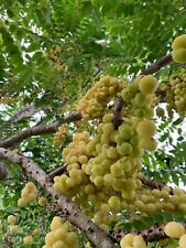 Currant (Grosella estrellada)  Tropical Live Fruit Tree 1'-3' Feet Tall