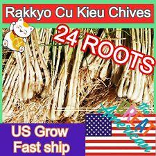 Rare HERB Plant Japanese onion scallion Pickled Leek Oriental scallion Allium 24