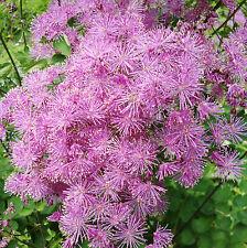 Columbine Meadow rue (thalictrum aquilegifolium) 50+seeds - perennial