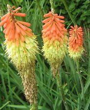 Kniphofia foliosa (Red Hot Poker) bare rooted perennial plant