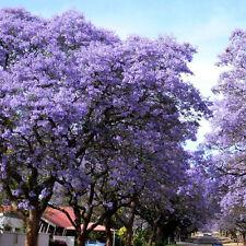 100 seeds - Empress Tree / Foxglove Tree - Paulownia tomentosa - Tree