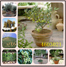 10 Pcs Seeds Olive Bonsai Tree Olea Europaea Plant Fresh Exotic Mini Garden Rare