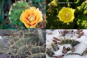 3 pads 1 of each variety - Eastern Prickly Pear Cactus - Hardy zone 4.
