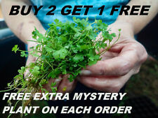 "BUY 2 GET 1 FREE Hydrocotyle tripartita ""Japan"" Live Aquarium Plants carpet"