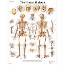 Human Skeleton  1 EA
