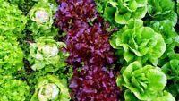 200x Lettuce Seeds Salad Rare Lollo Rossa Radicchio Romaine Auricularia Italian