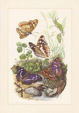Grosser Kleiner Schillerfalter Apatura iris Farbdruck von 1959 Schmetterlinge