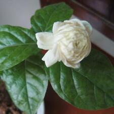 20 Samen Arabischer Jasmin Jusminum Weiße Farbe Strauch Blumensamen MultiPetal