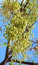 Chinaberry -Melia azedarach White Cedar wood Mahogany lilac bonsai Tree 15 seeds