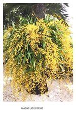 Oncidium Altissimum Orchid, Long Leaves bulbs Golden shower Dancing Lady