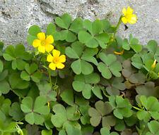 10 Yellow Wood Sorrel Seeds