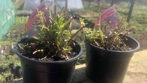 Penstemon 'Vesuvius ' Hardy Perennial Plant X2 In 11cm Pots