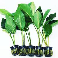Live Anubias Lanceolata Potted Plant P017