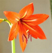 FD4532 Hippeastrum Striatum Seeds Amaryllis Flower Plant Seeds Orange 10PCs