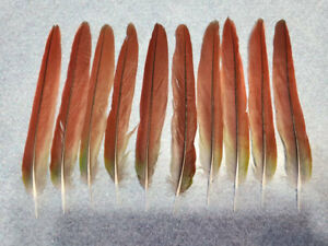 """Lot Set of 10 Green Cheek Conure Parrot 5"""" Red Tail Feathers RC6"""