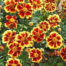 Ringelblume Zwerg-Ehrenlegion-tagates patula nana-zirka 300 Samen