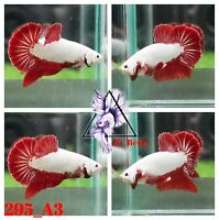[295_A3]Live Betta Fish High Quality Male Red Dragon Plakat 📸Video Included📸