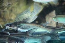 Live 4-6 inch Channel Catfish  for Koi Pond, Fish tank, or Aquarium. Aquaponics