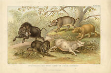 RAZORBACK WILD BOAR WILD PIG SWINE CAPYBARA PECCARY WILDLIFE ANTIQUE PRINT 1866
