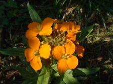 Cheiranthus x allionii - Siberian Wallflower - Fresh Seeds