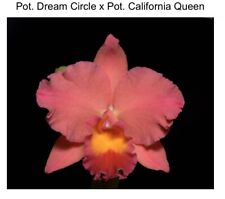 Cattleya Pot Dream Circle 'Lone Jack' X Pot California Queen 4 Inch (12)