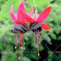 100pcs Bonsai Fuchsia Flowers Seed Lantern Flower Perennial Flower Seeds Garden