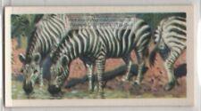 African Zebra Social Equine Vintage Trade Ad Card