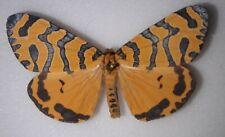 Erebidae Arctiidae amphicallia pactolicus Rwanda