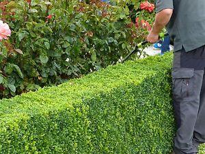 10 Common Box / Buxus Sempervirens,15-20cm In 9cm Pots, Evergreen Hedging Plants