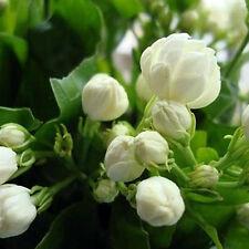 20pcs Saat weiße Arabian Jasmine Strauchblumensamen Bonsai Zuhause Garten Decor