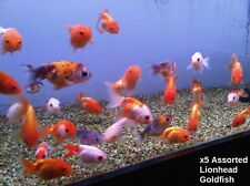 X5 ASSORTED LIONHEAD GOLD FISH - FRESH WATER LIVE FISH FREE SHIPPING