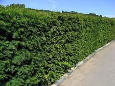 10 English Yew 1-2ft Hedging Plants,4yr old Evergreen Hedge,Taxus Baccata Trees