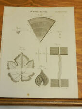 1817 Antique Print/ANATOMY OF PLANTS///VINE LEAF, TULIP ROOT, ASH BRANCH