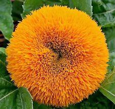 Sunflower Dwarf Teddy Bear 50 seeds * HEIRLOOM * Cute Garden Flower * CombSH J22