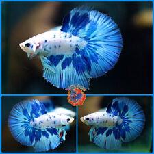New listing Live Betta Fish Male Juvenile Fancy Blue Dalmatian Halfmoon #E1057