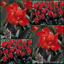 7 Dwarf Canna Lily Bronze Scarlet Lilies Garden Plant Flowers Tropical generalis