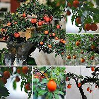Diospyros Cathayensis * Cathay Persimmon * Bonsai Tree * Rare * 5 Fresh Seeds *