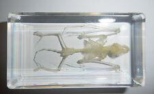Bat Skeleton GREATER BAMBOO BAT in Clear Block Education Real Animal Specimen