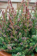 Podocarpus Punta Roja en 9cm Olla Bonsai sujeto
