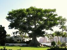 Kapok tree CEIBA PENTANDRA,15 Seeds,white silk-c, interesting rainforest bonsai