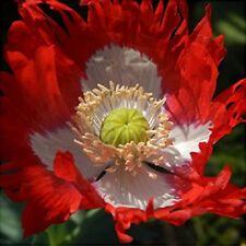Danish Flag Poppy 250 Seeds Papaver Somniferum Attract Butterflies Free Ship!