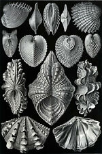 Ernst Haeckel Art Forms of Nature Shell Starfish Mollusk Crustacean  18x24 new