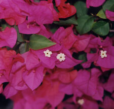 BAMBINO SHABA Bougainvillea Dwarf copper red magenta flowers plant in 140mm pot