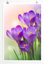 60x90cm Naturfotografie – Violette Krokusse