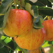 Fruit Tree Apple Hardy Garden Plant 1 x 9cm Potted Gala Mini Tree T&M
