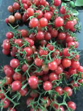 Everglades Tomato seeds 25+ organic from 2021 produced in Southwest Florida