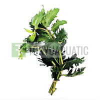 Water Wisteria Hygrophila Difformis Live Aquarium Plants Freshwater Decorations