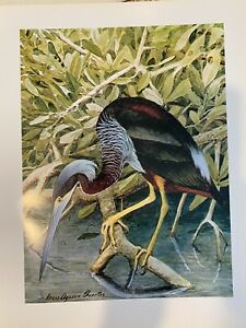 "Louis Agassiz Fuertes & The Singular Beauty of Birds, ""Agami Heron"" Print"