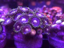 Live Coral Frag Coral Explorer's Blowpops Zoanthids Polyps SPS LPS ZOA