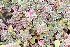 sedum TRICOLOR stonecrop, rare pink, 5 SEDUM PLANTS! must ship immediate! GroCo